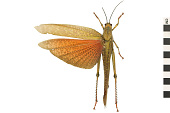 view Giant Grasshopper digital asset number 1