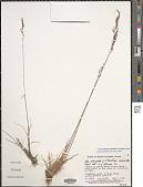 view Poa secunda J. Presl subsp. secunda var. secunda digital asset number 1