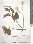 view Clematis sericea Michx. digital asset number 1