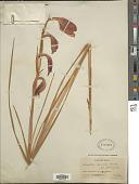 view Gladiolus splendidus Rendle digital asset number 1