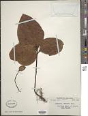 view Lysimachia petelotii Merr. digital asset number 1