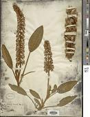 view Lupinus villosus Willd. digital asset number 1