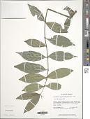 view Lasianthus euneurus Stapf digital asset number 1