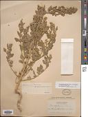 view Chenopodium berlandieri subsp. zschackei var. typicum digital asset number 1