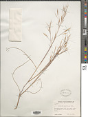view Aristida tuberculosa Nutt. digital asset number 1