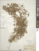 view Cuscuta epithymum Murray digital asset number 1