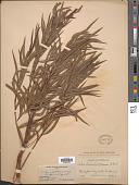 view Salix humboldtiana Willd. digital asset number 1