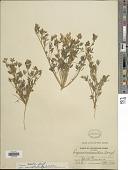 view Lupinus bicolor var. microphyllus Lindl. digital asset number 1