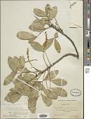 view Ateleia gummifera (Bertero ex DC.) D. Dietr. digital asset number 1