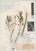 view Senegalia durangensis Britton & Rose digital asset number 1
