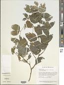 view Cynometra bauhiniifolia Benth. digital asset number 1