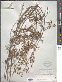 view Helinus lanceolatus (Wall.) Brandis digital asset number 1