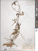 view Dioscorea trifoliata Kunth digital asset number 1