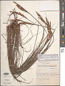 view Paspalum ceresia (Kuntze) Chase digital asset number 1