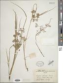 view Cyperus reduncus Hochst. ex Boeckeler digital asset number 1