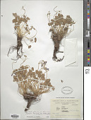 view Oxalis floribunda Lehm. digital asset number 1