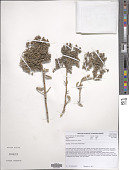 view Stoeberia arborea van Jaarsv. digital asset number 1
