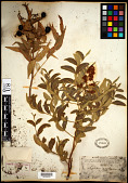 view Sapindus saponaria subsp. drummondii (Hook. & Arn.) A.E. Murray digital asset number 1