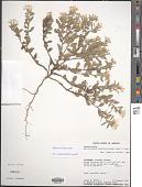 view Euploca convolvulacea Nutt. digital asset number 1