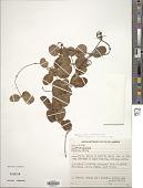 view Peplonia asteria (Vell.) Fontella & E.A. Schwarz digital asset number 1