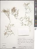 view Spergularia platensis (Cambess.) Fenzl digital asset number 1