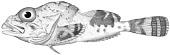 view Malacocottus zonurus Bean digital asset number 1