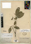 view Coussarea benensis Britton ex Standl. digital asset number 1