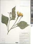 view Tithonia tubaeformis (Jacq.) Cass. digital asset number 1