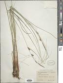 view Carex lasiocarpa var. americana Fernald digital asset number 1