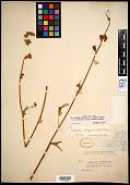 view Sidalcea oregana var. minor (M.E. Peck) C.L. Hitchc. digital asset number 1