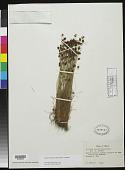 view Bulbostylis briziformis (Hutch.) Larridon & Roalson digital asset number 1