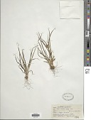 view Cyperus confertus Sw. digital asset number 1