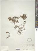 view Gaultheria trichophylla Royle digital asset number 1