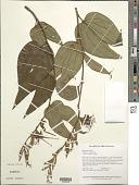 view Bauhinia ungulata L. digital asset number 1