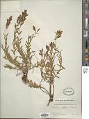 view Gentiana affinis Griseb. digital asset number 1