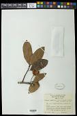 view Sloanea terniflora (DC.) Standl. digital asset number 1