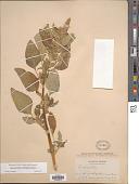 view Amaranthus retroflexus L. digital asset number 1