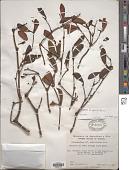 view Phoradendron filispicum Rizzini digital asset number 1