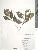 view Palicourea hoffmannseggiana (Roem. & Schult.) Borhidi digital asset number 1
