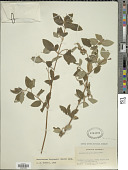 view Monochaetum bonplandii (Kunth) Naudin digital asset number 1