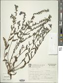 view Echium plantagineum L. digital asset number 1