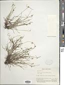 view Cyperus brevifolius (Rottb.) Hassk. digital asset number 1
