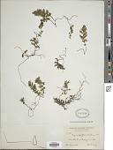 view Hymenophyllum hirsutum (L.) Sw. digital asset number 1