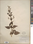 view Scrophularia marilandica L. digital asset number 1