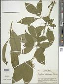 view Aegiphila costaricensis Moldenke digital asset number 1