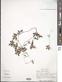 view Ipomoea cairica (L.) Sweet digital asset number 1