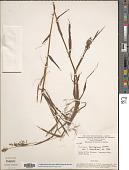 view Cyphonanthus discrepans (Döll) Zuloaga & Morrone digital asset number 1