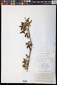 view Pyrularia pubera Michx. digital asset number 1