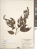 view Acalypha mapirensis Pax digital asset number 1