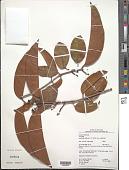 view Tontelea ovalifolia (Miers) A.C. Sm. subsp. ovalifolia digital asset number 1